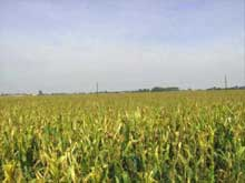 Agricoltura e Ogm