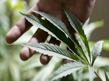 Produzione cannabis italia